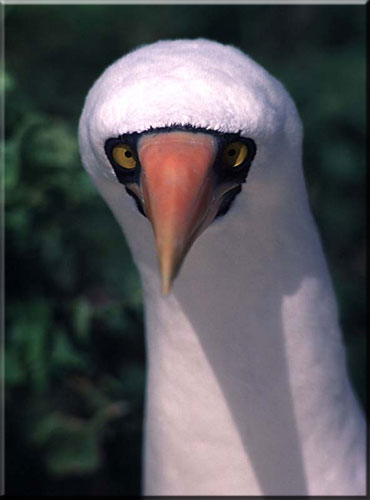 masked_booby