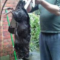 Ratzillas: La invasión de las ratas gigantes