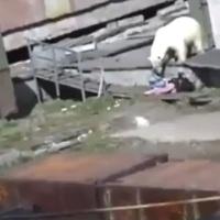 Oso ataca a una mujer en Rusia