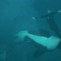 """Organización cristiana quiere lapidar a """"Tilikum"""" la orca de Seaworld"""