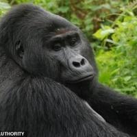 Enfrentan cadena perpetua después de asesinar al gorila Rafik